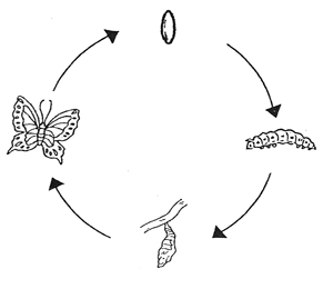 The lifecycle of a butterfly from egg to caterpillar to pupa and butterfly